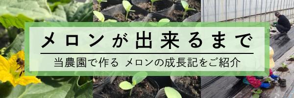 メロンが出来るまで当農園で作る メロンの成長記をご紹介